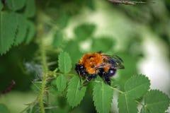 Un abejorro peludo grande en una hoja de un salvaje subió Foto de archivo