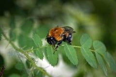 Un abejorro peludo grande en una hoja de un salvaje subió Fotografía de archivo libre de regalías