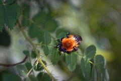Un abejorro peludo grande en una hoja de un salvaje subió Imagen de archivo