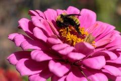 Un abejorro que alimenta afanosamente en un zinnia de las rosas fuertes Imagen de archivo
