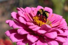 Un abejorro que alimenta afanosamente en un zinnia rosado Foto de archivo