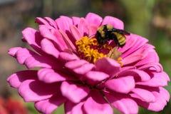 Un abejorro que alimenta atento en un zinnia rosado Imagen de archivo