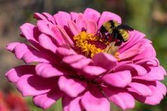 Un abejorro que alimenta en un zinnia rosado Imagenes de archivo