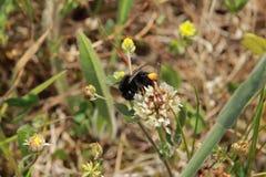 Un abejorro que come el néctar de la flor Foto de archivo libre de regalías