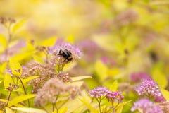 Un abejorro que recoge el polen Fotos de archivo libres de regalías