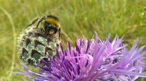 Un abejorro que se sienta en la flor de la centaurea Fotos de archivo libres de regalías