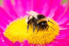Un abejorro que se sienta en la flor del aster Imagen de archivo libre de regalías