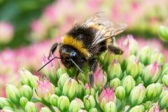 Un abejorro que se sienta en la flor rosada Fotografía de archivo libre de regalías