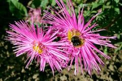 Un abejorro que se sienta en la flor rosada del aster Fotos de archivo libres de regalías