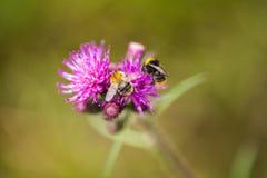 Un abejorro salvaje hermoso que recolecta la miel de la flor del cardo del pantano Imagen de archivo
