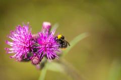Un abejorro salvaje hermoso que recolecta la miel de la flor del cardo del pantano Imágenes de archivo libres de regalías