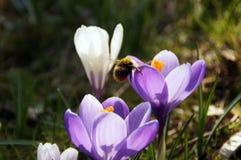 Un abejorro visita crokus Fotografía de archivo libre de regalías