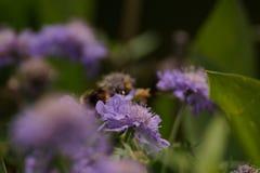 Un abejorro y una flor púrpura Foto de archivo