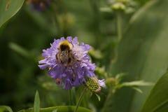 Un abejorro y una flor púrpura - vista delantera Imagen de archivo