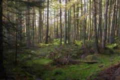 Un'abetaia scozzese negli altopiani fotografia stock
