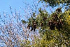 Un abeto con los conos Imagen de archivo libre de regalías
