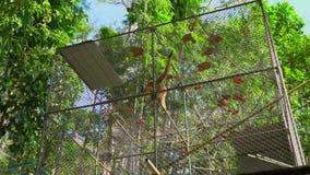 Un abri de singe de gibbon centre de r?habilitation de singe banque de vidéos