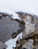 Accentor alpino sulla roccia Immagini Stock