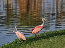 Un accoppiamento degli Spoonbills, Florida Immagine Stock Libera da Diritti