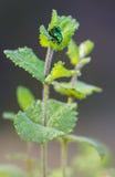 Un accoppiamento verde metallico di due scarabei Fotografia Stock Libera da Diritti