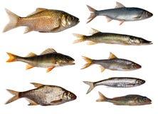 Un'accumulazione degli otto pesci d'acqua dolce Fotografie Stock