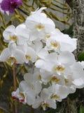 Un'accumulazione dei fiori bianchi di piccola dimensione con i centri gialli Fotografia Stock Libera da Diritti
