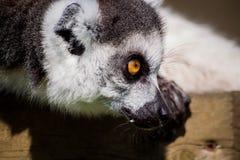 Un acecho del lémur Imagen de archivo libre de regalías