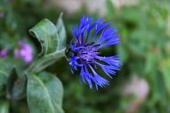 Un aciano azul sonriente precioso fotografía de archivo libre de regalías