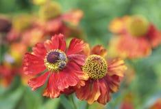 Un aciano de color naranja con una abeja que recoge el polen Imagen de archivo libre de regalías
