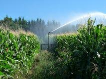 Un'acqua di spruzzatura dello spruzzatore in un campo di mais Fotografie Stock Libere da Diritti