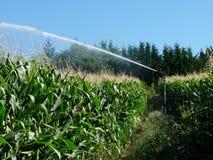 Un'acqua di spruzzatura dello spruzzatore in un campo di mais Fotografie Stock