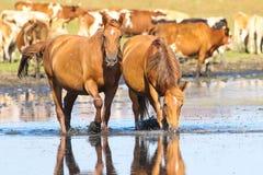 Un'acqua potabile di due cavalli selvaggi dell'acetosa Fotografia Stock
