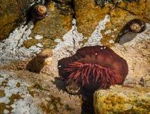 Un actinie sulla costa francese in Normandia immagini stock