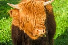 Un adolescente de la vaca del ganado de la montaña del emo Foto de archivo libre de regalías
