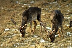 Un adulte et un grand mâle des cerfs communs affrichés européens, avec de grands klaxons, en clairière de forêt Excellente illust photos libres de droits