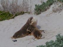 Un adulto e un leone marino del bambino Fotografie Stock