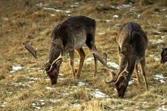 Un adulto y un varón grande de los ciervos en barbecho europeos, con los cuernos grandes, en un claro del bosque Ejemplo excelent fotos de archivo libres de regalías