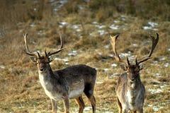 Un adulto y un varón grande de los ciervos en barbecho europeos, con los cuernos grandes, en un claro del bosque Ejemplo excelent fotografía de archivo