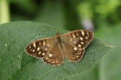 Un aegeria de madera manchado imponente de Pararge de la mariposa que se encarama en una hoja en arbolado Imagen de archivo