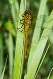 Un aenea de Cordulia de la libélula que calienta sus alas en el sol de la madrugada Fotografía de archivo