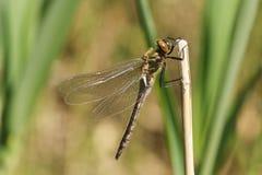 Un aenea duveteux nouvellement émergé rare renversant d'Emerald Dragonfly Cordulia étant perché sur un roseau sur le côté d'un ét Photo libre de droits