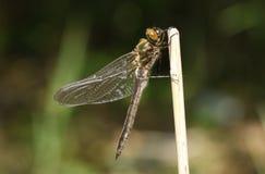 Un aenea duveteux nouvellement émergé rare renversant d'Emerald Dragonfly Cordulia étant perché sur un roseau sur le côté d'un ét Photographie stock