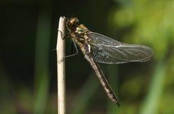 Un aenea duveteux nouvellement émergé rare renversant d'Emerald Dragonfly Cordulia étant perché sur une brindille sur le côté d'u Photographie stock