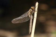Un aenea duveteux nouvellement émergé rare renversant d'Emerald Dragonfly Cordulia étant perché sur une brindille sur le côté d'u Photographie stock libre de droits