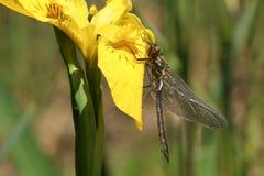 Un aenea duveteux nouvellement émergé rare renversant d'Emerald Dragonfly Cordulia étant perché sur une fleur de drapeau jaune Image libre de droits