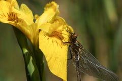 Un aenea duveteux nouvellement émergé rare renversant d'Emerald Dragonfly Cordulia étant perché sur une fleur de drapeau jaune Images stock