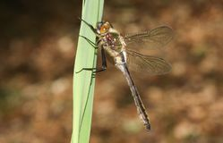 Un aenea suave hermoso de Emerald Dragonfly Cordulia se encaramó en una caña Imágenes de archivo libres de regalías
