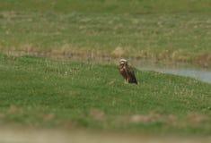 Un aeruginosus hermoso de Marsh Harrier Circus que se encarama en la hierba en un prado fotografía de archivo