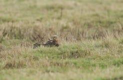 Un aeruginosus sbalorditivo che si appollaia sulla terra nel Regno Unito, di Marsh Harrier Circus sta pavoneggiandosi le sue pium fotografie stock