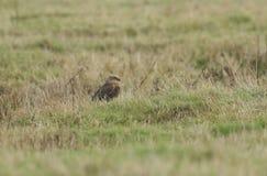 Un aeruginosus sbalorditivo di Marsh Harrier Circus che si appollaia sulla terra nel Regno Unito fotografia stock